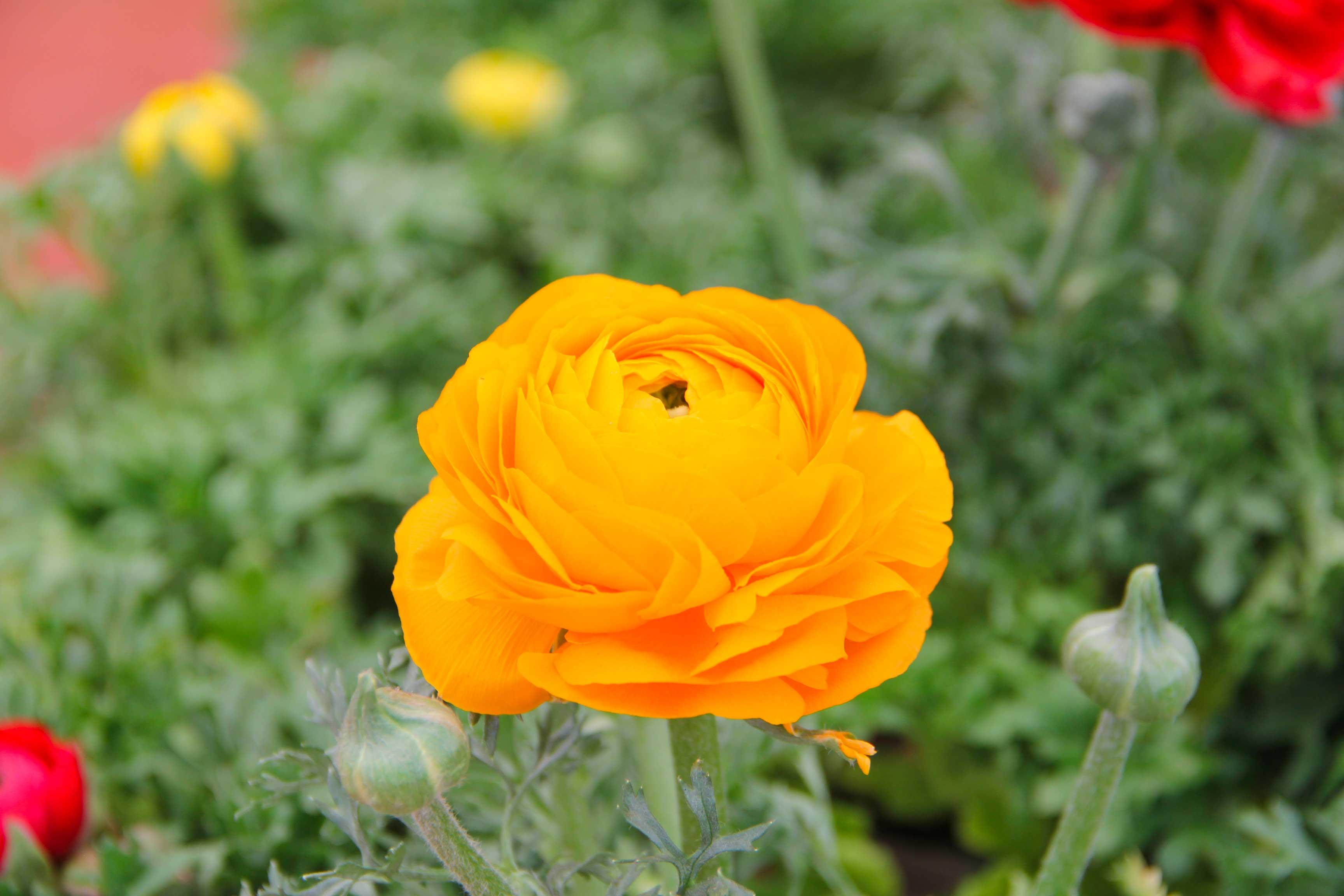 Fleurs-Renoncule---IMG_3223