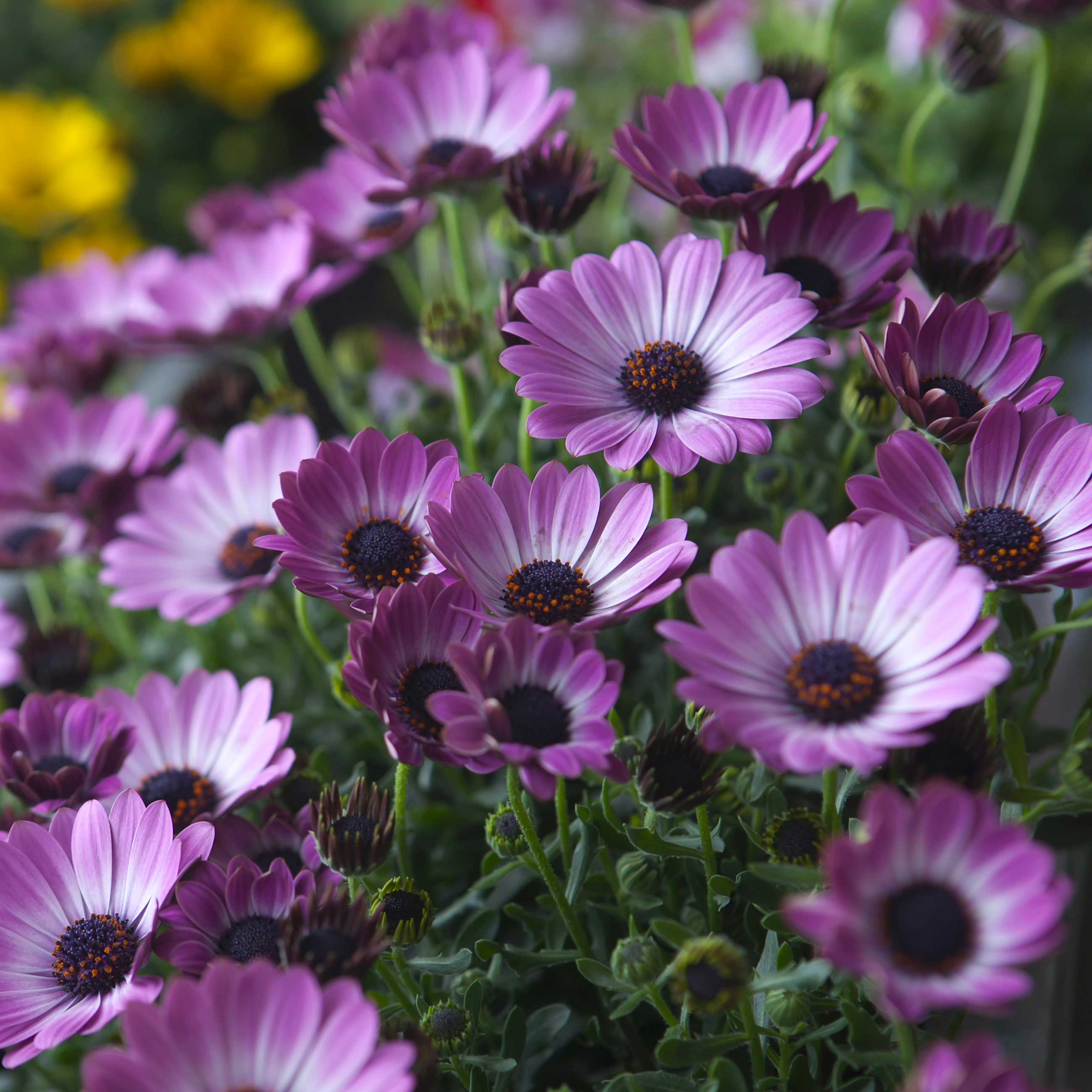 Osteosperumum---Fotolia_64966444_Subscription_L