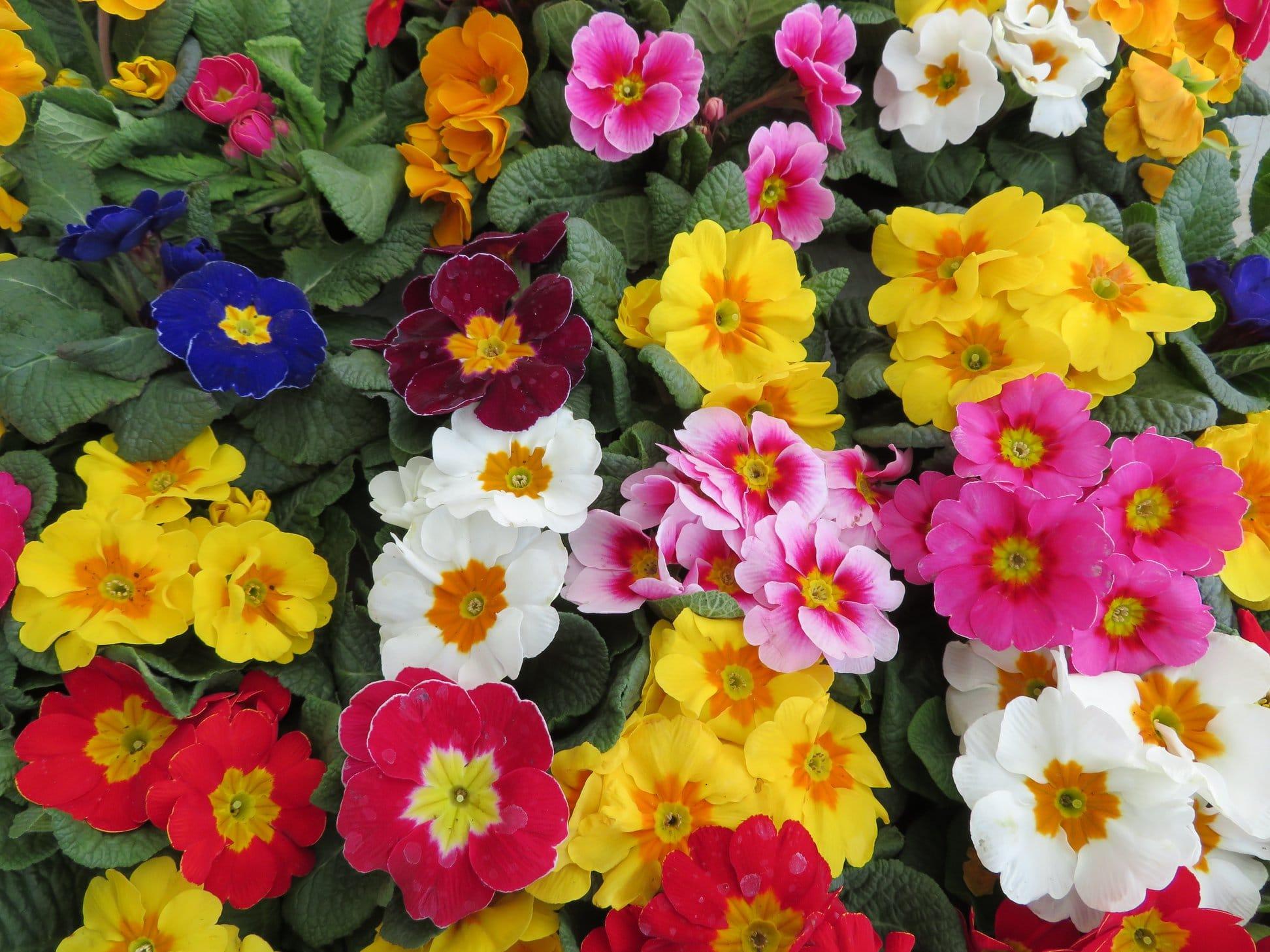 Primevere fleurs printemps Jardinerie Jurassienne